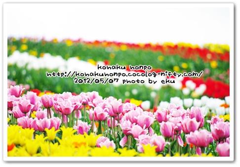 Tulip2_2